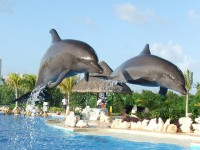 Cancun dolphins ©Morgan Pollack/flickr