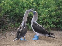Blue footed Boobies ©nhptv.org