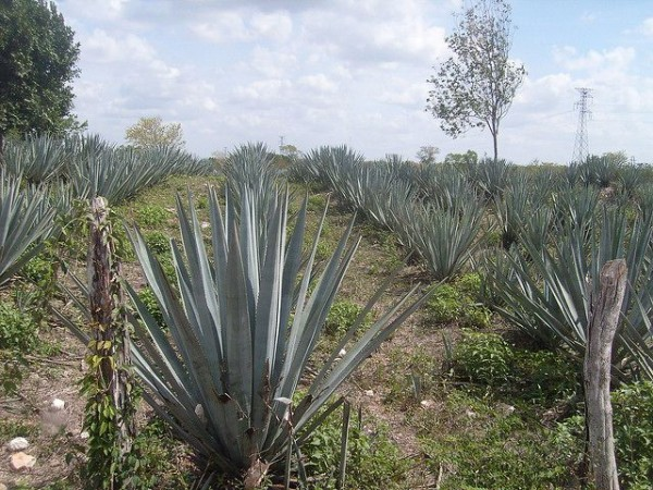 Agave field in in Mexico